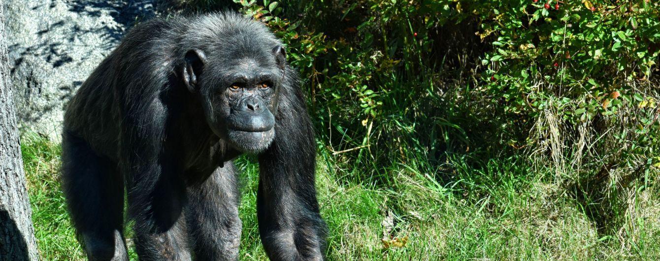 Вместо лестницы: шимпанзе сбежал из зоопарка Белфаста с помощью палки