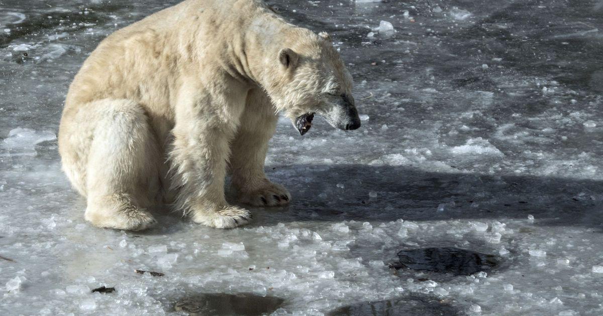 Полсотни белых медведей 'захватили' деревню на российской Чукотке