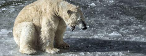 """Полсотни белых медведей """"захватили"""" деревню на российской Чукотке"""