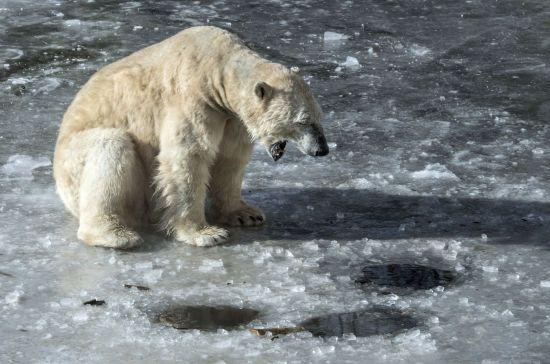 Нашестя білих ведмедів у Росії: проблема посилюватиметься через зміни клімату