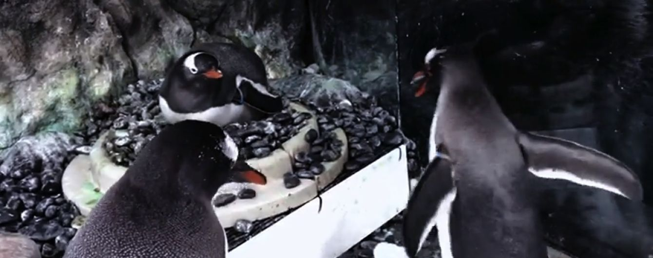 В сиднейском аквариуме рассказали о детеныше пингвинов-геев