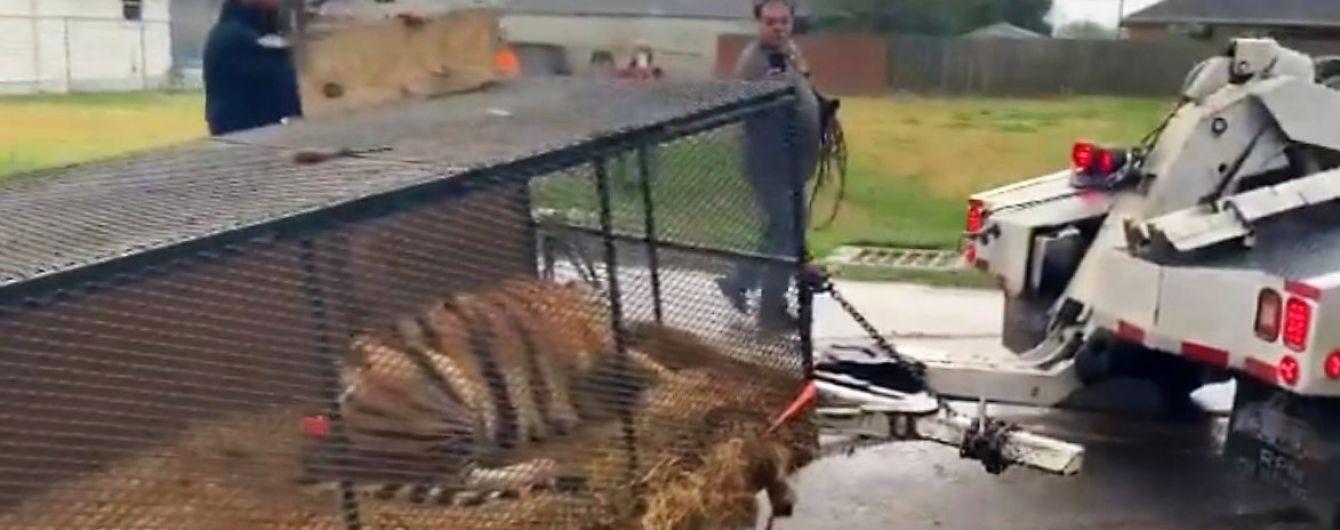 "Техасец ""под травкой"" принял настоящую тигрицу в доме за галлюцинацию"