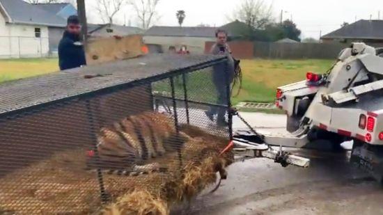 """Техасець """"під травичкою"""" прийняв справжню тигрицю у будинку за галюцинацію"""