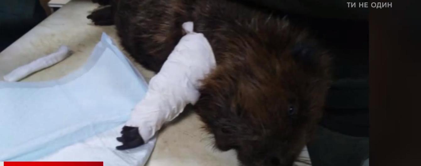 Возле озера в Киеве бобер попал в капкан браконьера. Его спасли местные