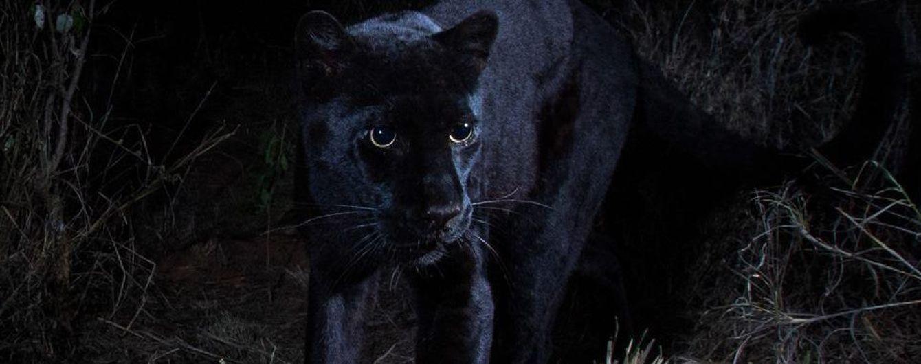 """Впервые за сотню лет биологам в Африке удалось снять на камеру """"мифического"""" черного леопарда"""