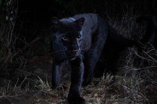 """Уперше за сотню років біологам в Африці вдалось зняти на камеру """"міфічного"""" чорного леопарда"""