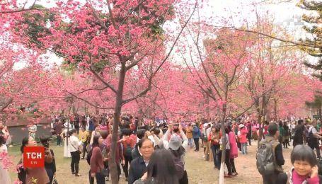 В китайском городе Гуанчжоу зацвела сакура