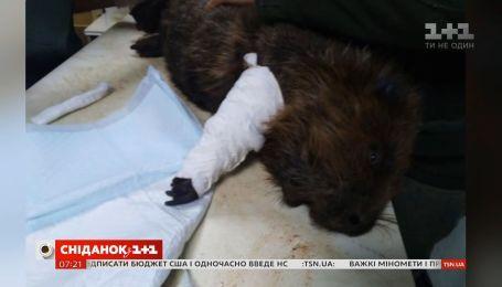 Волонтер рассказала, как дела у бобра, который стал жертвой киевских браконьеров