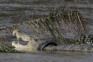 У Малайзії мисливця на крабів заживо з'їв крокодил