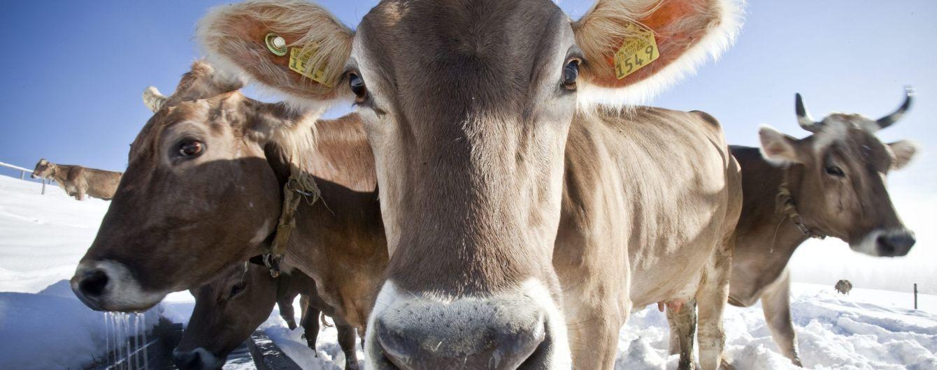 В Британии появился Tinder для коров. Фермеры в восторге