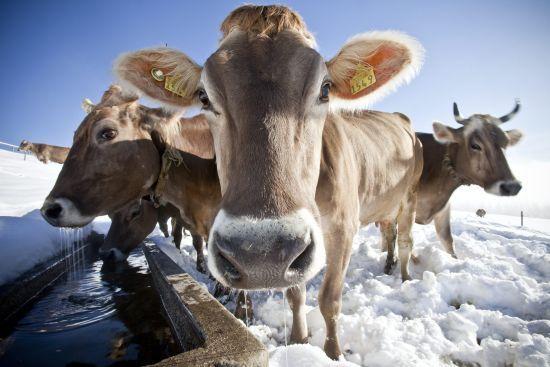У Британії з'явився Tinder для корів. Фермери у захваті