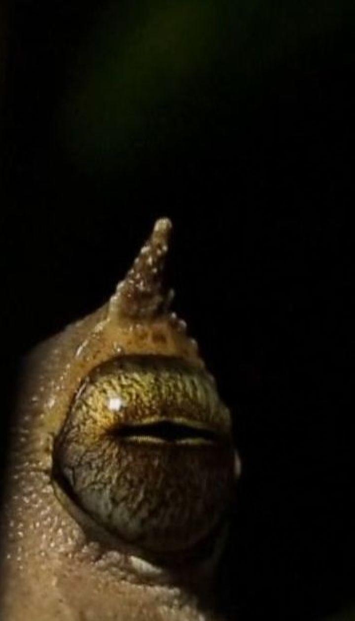 В тропических лесах ученые неожиданно нашли колонию редких рогатых лягушек