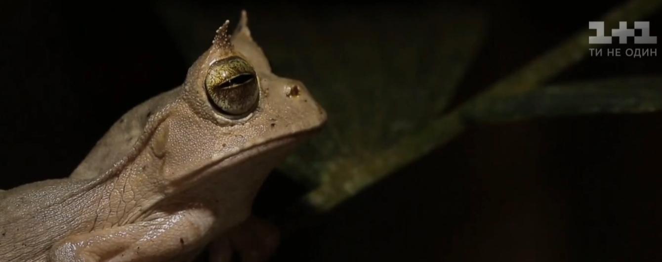 В тропиках Эквадора нашли редких рогатых лягушат