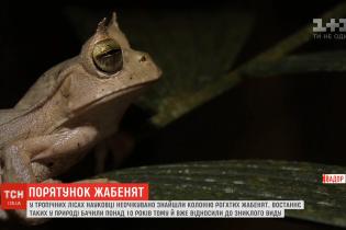 У тропіках Еквадору знайшли рідкісних рогатих жабенят