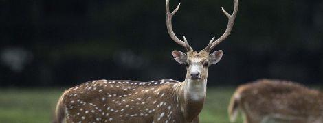 """У США серед оленів шириться """"зомбі-хвороба"""". Вона вражає мозок і може загрожувати людям – науковці"""
