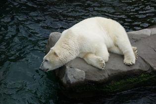 Білі ведмеді залишили російське селище, яке тримали в страху кілька місяців