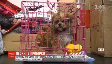 Китаянка клонировала свою собаку, заплатив 56 тысяч долларов