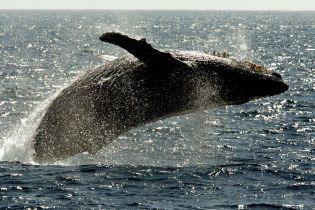 Всесвітній день китів: чи знищить людство величезних ссавців комерційним полюванням