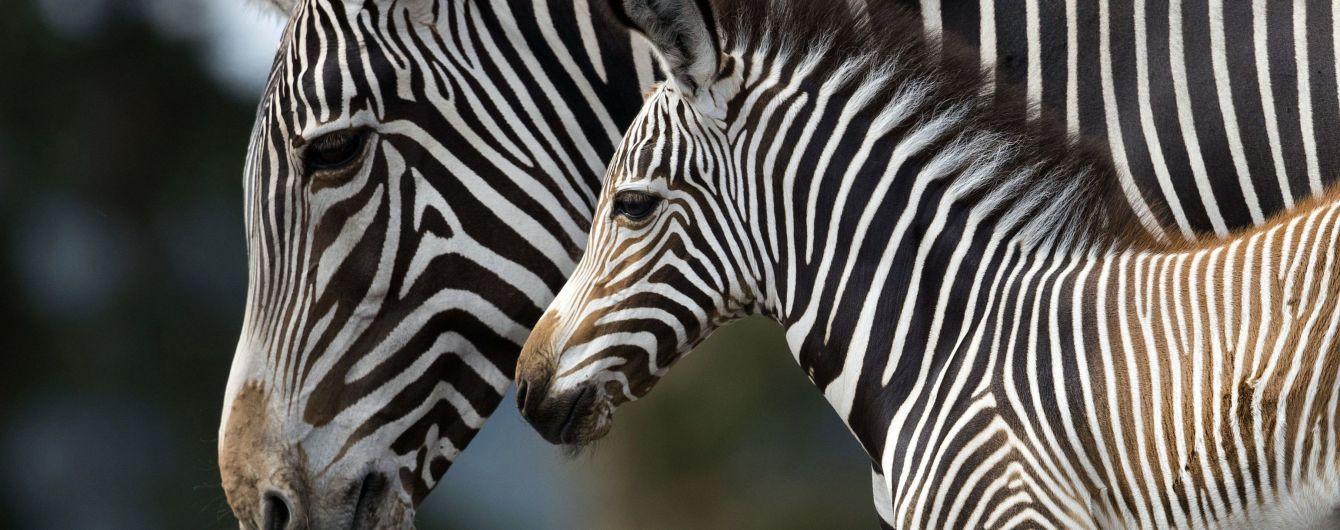 Експеримент з перевдяганням коней виявив, навіщо зебрам потрібні смужки