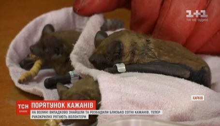 На Волыни зоозащитники спасают летучих мышей, которых случайно разбудили на 2 месяца раньше