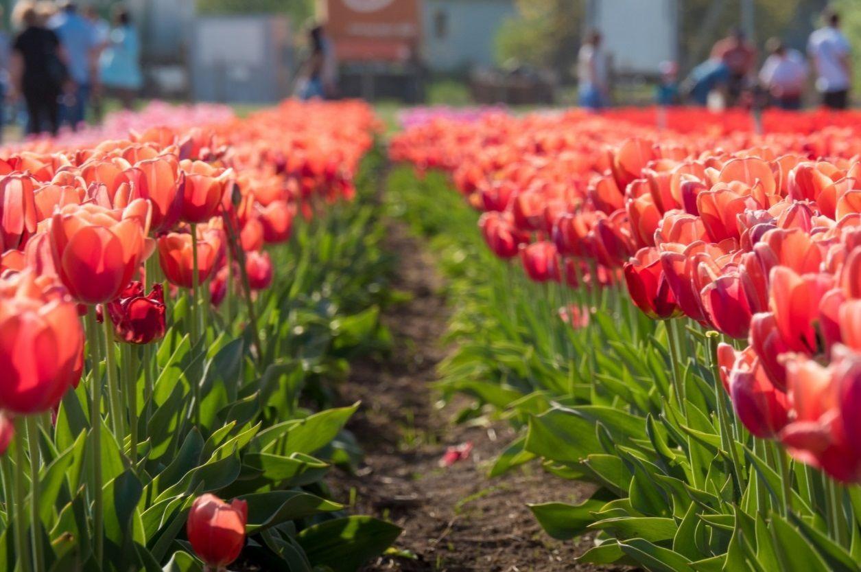Мамаївці, Долина тюльпанів
