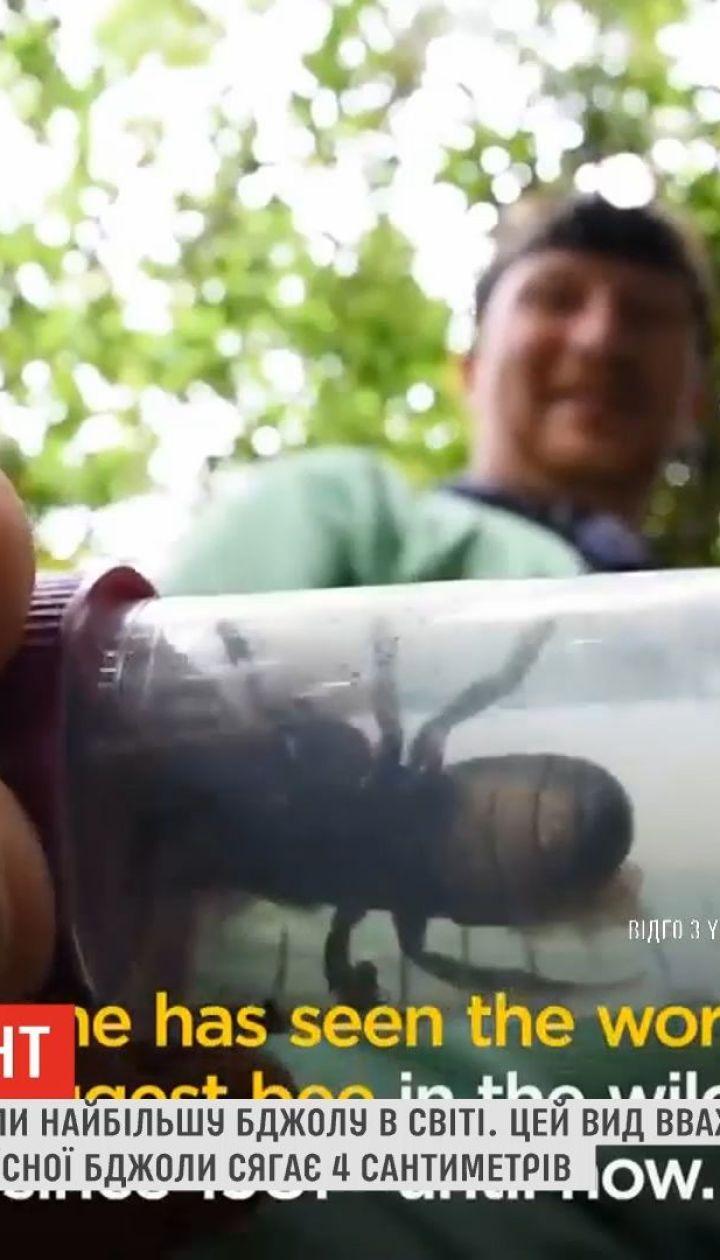 В Индонезии обнаружили самую большую пчелу в мире