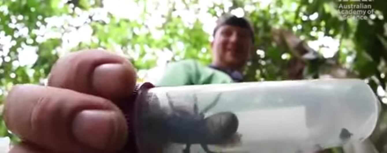 В Індонезії виявили найбільшу бджолу в світі, яка десятки років вважалась вимерлою