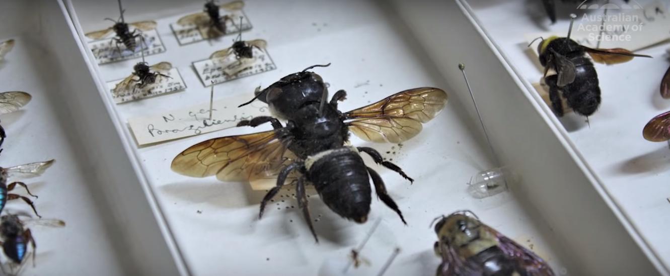 Найбільша в світі бджола