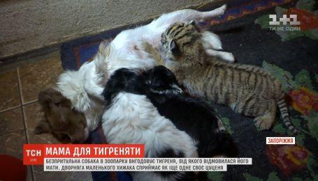 На Запорожье собака выкармливает брошенного тигрёнка