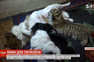У Запоріжжі собака-дворняга вигодувала відкинуте матір'ю тигреня