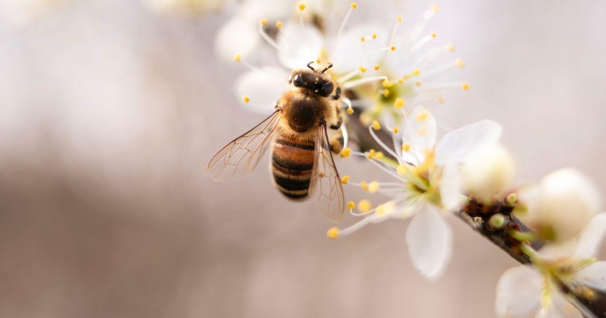 Дослідники помітили, що бджоли стали менше танцювати – усе через людей