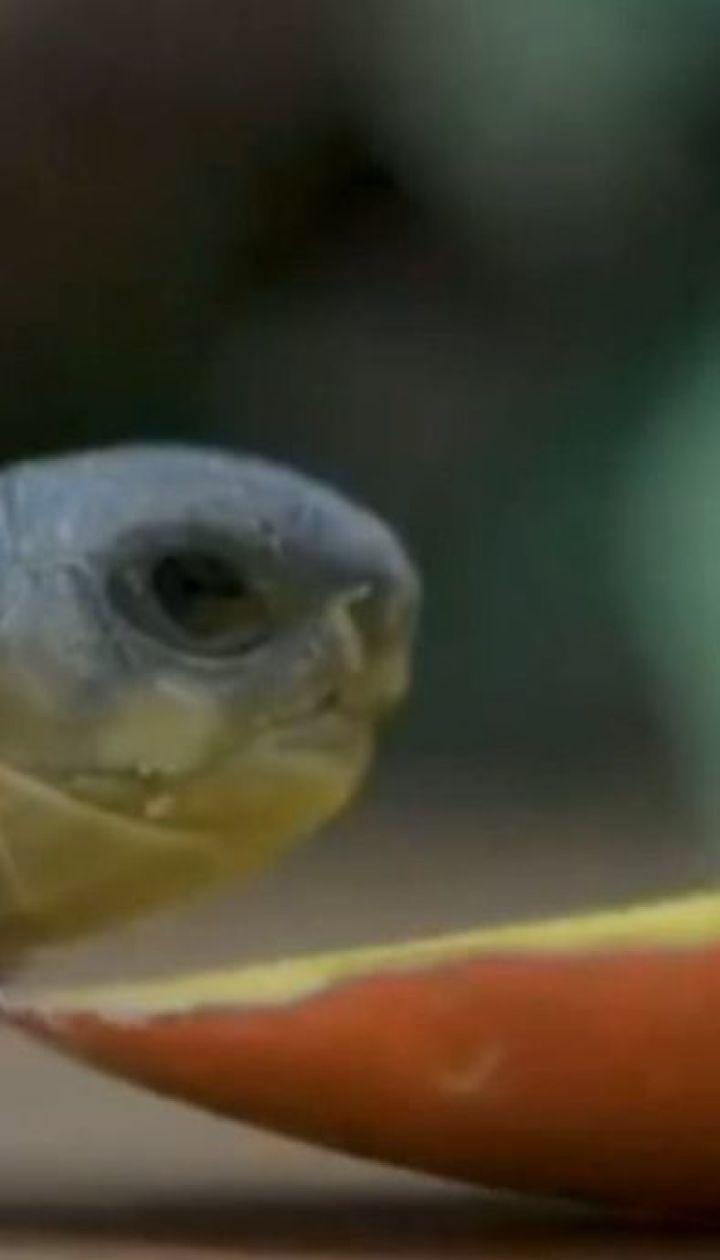 У Честерському зоопарку на світ з'явилися черепахи виду, який вимирає