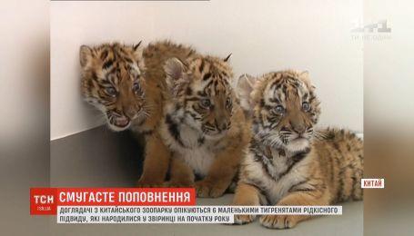 Смотрители китайского зоопарка заботятся о шестерых тигрятах редкого подвида