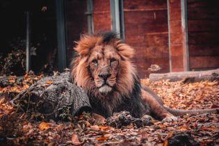 В Чехии лев насмерть загрыз хозяина, который незаконно удерживал его