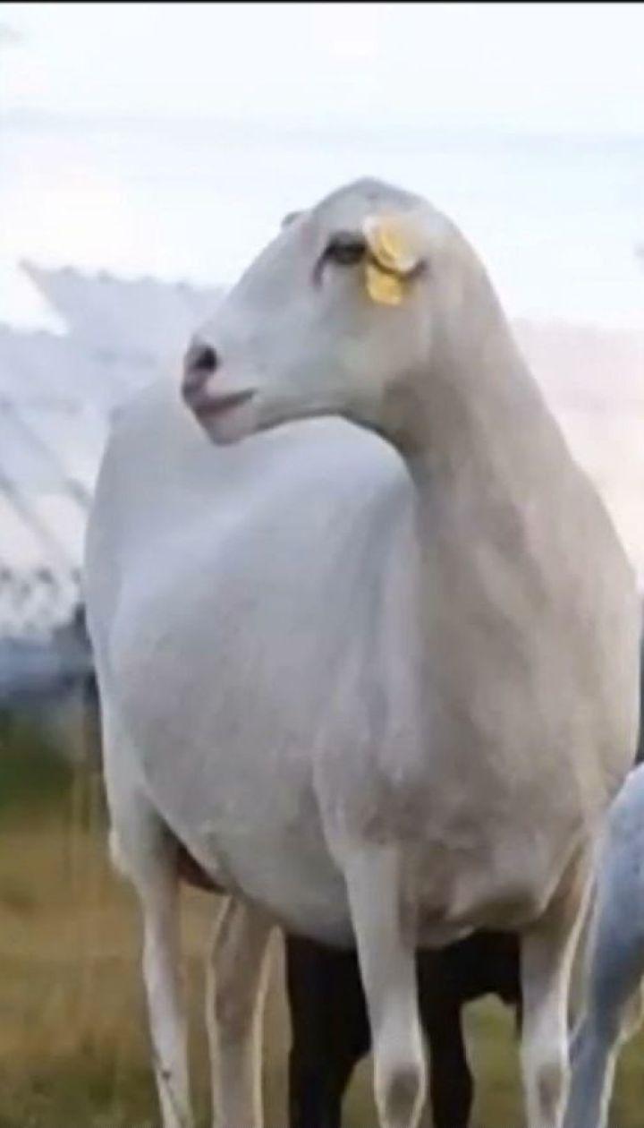 В Америке овцы устроились на работу