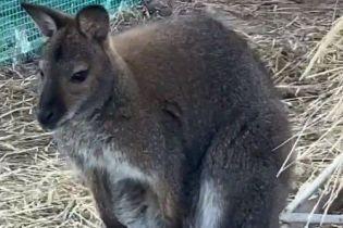 У Кременчуці пара кенгуру народила дитинча. Їхній власник оприлюднив відео