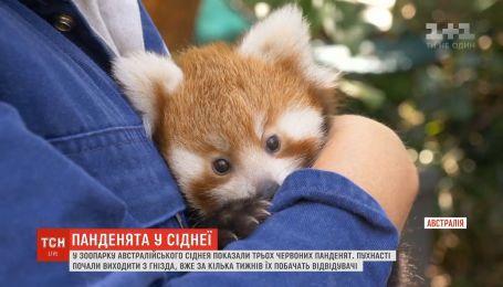 Новорожденных красных панд показали в зоопарке Сиднея