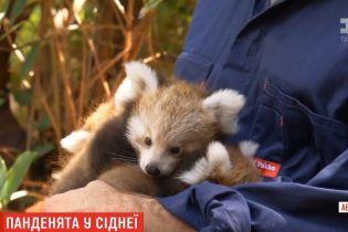 Сіднейський зоопарк показав новонароджених червоних панд