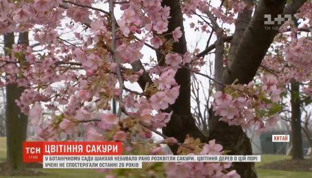 В ботаническом саду Шанхая небывало рано расцвели сакуры