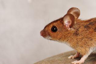 """В Индии владелец застукал крысу за кражей бриллиантов, но назвал ее """"индийским божеством"""""""