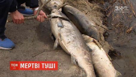 Массовый мор рыбы: вдоль Русановского озера лежат более 200 дохлых тушь