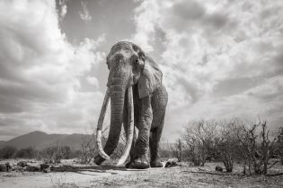 Унікальні фото: британець зняв рідкісну слониху перед її загибеллю