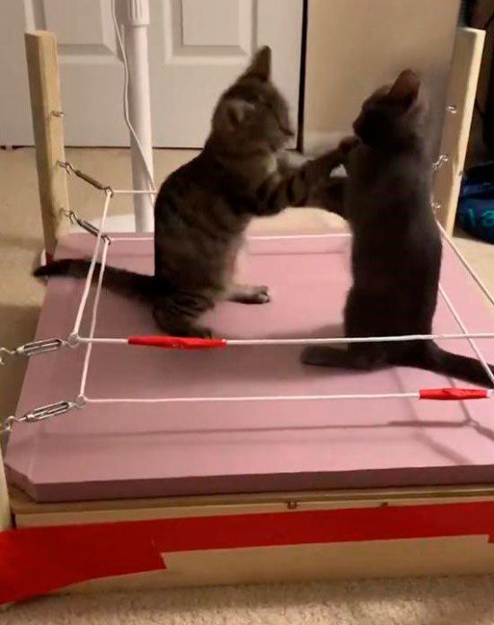 Парі на укус за дупку між Роналду і моделлю та нещадний бій котів на рингу. Тренди Мережі