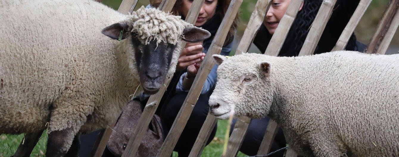 """Мало детей: во французскую школу """"зачислили"""" 15 баранов и овец"""