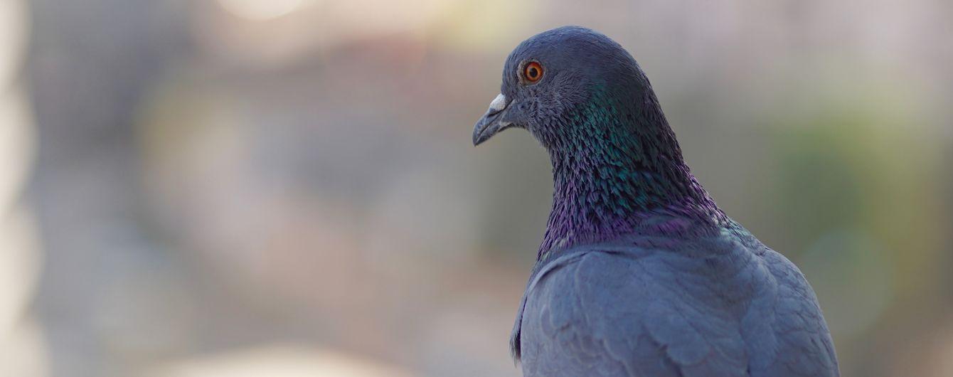 На Прикарпатті запустили більше тисячі голубів