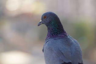 На Прикарпатье запустили более тысячи голубей