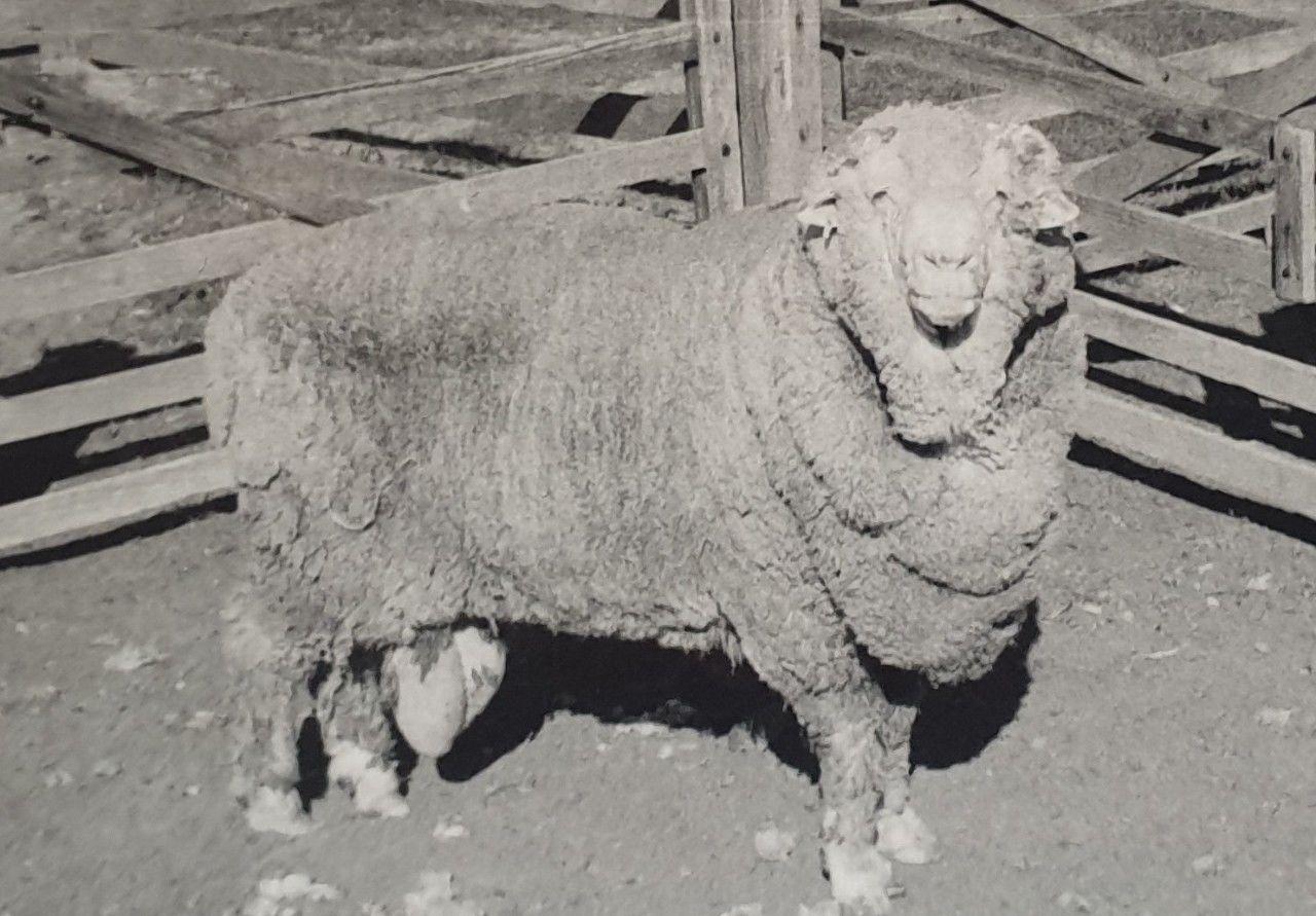 Вівця, яка народилась від найстарішої в світі сперми_1
