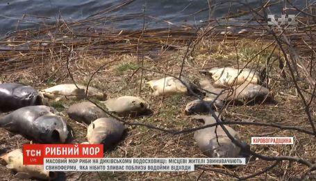Люди обвиняют свиноферму в массовом море рыбы на Диковском водохранилище