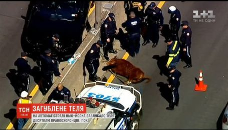 В США на автомагистрали заблудился теленок