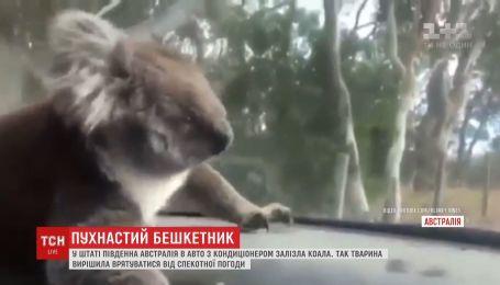 Пушистый оккупант: коала спряталась от жары в авто с кондиционером и отказывалась вылезать